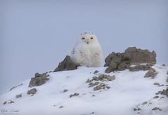 Snowy Owl (Nick Scobel) Tags: snowy owl bubo scandiacus michigan winter visitor migration raptor bird pray talons snow