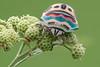 Picasso bug (andre de kesel) Tags: picassobug sphaerocoris scutelleridae hemiptera drcongo lupemba luapula fieldstack zerenestacker sonya6500 fe2890macrogoss