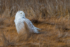 Snowy Owls of New Jersey | 2018 - 7 (RGL_Photography) Tags: atlanticcountycounty birding birds birdsofprey birdwatching buboscandiacus forsytherefuge gardenstate mothernature nature newjersey nikonafs600mmf4gedvr nikond500 ornithology owls raptors snowyowl us unitedstates wildlife wildlifephotography