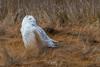 Snowy Owls of New Jersey | 2018 - 7 (RGL_Photography) Tags: atlanticcountycounty birding birds birdsofprey birdwatching buboscandiacus forsytherefuge gardenstate mothernature nature newjersey nikonafs600mmf4gedvr nikond500 ornithology owls raptors snowyowl us unitedstates wildlife wildlifephotography