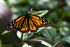TG Feb2018 1_0118 (Mary D'Elia) Tags: florida ftlauderdale monarch butterfly garden insect monarchbutterfly nature wildlife