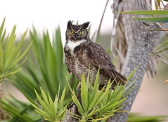 Great horned owl on a palm tree (charlescpan) Tags: