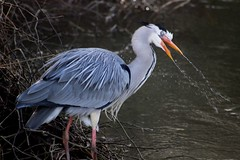 Crazy Heron (vaughanfoulkes-arnold) Tags: heron crazy nature odd drugs