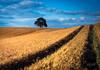 2017 Remembering the summer (jeho75) Tags: leica iiif fuji velvia 100 deutschland germany harz harzvorland getrteide corn feld acker solitair tree baum landschaft landscape analogue analog