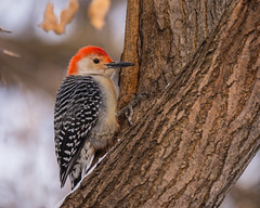 Waiting... (ragtops2000) Tags: pecker woodpecker redbellied male food pose colorful searching waiting tree lake forest winter evening light good detail