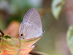 Forget-me-not (chaz jackson) Tags: forgetmenot catochrysopsstrabo lycaenidae butterfly polyommatinae insect vietnam blue