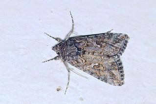 Noctuidae, Trichoplusia, ni