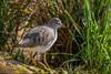 Redshank - (Tringa totanus) 'Z' for zoom (hunt.keith27) Tags: brightorangeredlegs redshank mediumlength bill orange base match brownspeckledback wings bird water slimbridge canon sigma