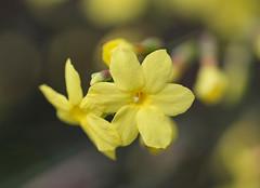 Yellow (LuckyMeyer) Tags: flower fleur yellow gelb spring garden makro blume blüte plant sun