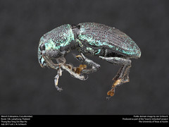 Thailand weevil (insectsunlocked) Tags: coleoptera curculionidae insectsunlocked jenthebird thailand thailandbeetles thailandweevil curculionoidea beetle