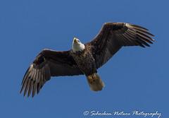 Eagle Flyover (Mark Schocken) Tags: haliaeetusleucocephalus circlebbarreserve alligatoralleytrail markschocken eagle