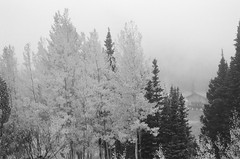 (S.askins15) Tags: trees fall foliage blackandwhite film kentmere100 35mm analog alta utah weather fog nature foggy cloudy mountain