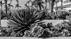 02 (munn1) Tags: coronado delcoronado cactus california acros fuji x100f contrast sunny week2theme week22018 52weeksin2018 weekstartingmondayjanuary082018 monochrome blackandwhite bw