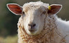 Tagged Shoot (Luzon Jim) Tags: sheep outdoor animal camera nikon eye watermark name ear stare head wool nature hill focus
