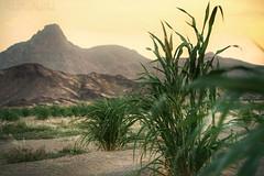 الغروب كمشاعر الحنين تمر كالذكرى التي لا تنسى.      Sunset as nostalgia passes like an unforgettable memory (aaalub62) Tags: green romantic love town arab arabia saudiarabia saudi time sunrise sunset natural nature plants trees beautiful wow farm