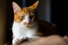 Caturday Luke (Nicholas Erwin) Tags: cat animal pet luke meow feline kitten kitty windowlight contrast colorful orangetabby orange nikon d610 nikkor 5018g waterbury vermont vt unitedstatesofamerica usa fav10 fav25