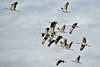 Grues en Camargue (Marc ALMECIJA) Tags: oiseau bird aves vogel grues grullas crane kraanvogel camargue amateur sony rx10m3 nature natur wildlife vol outside outdoor groupe
