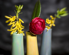 Forsythia and Camellia (N.the.Kudzu) Tags: home tabletop stilllife flowers vases canon70d lensbabysweet35 lightroom