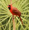 Northern Cardinal (Dr Clontz) Tags: bird cardinal northerncardinal