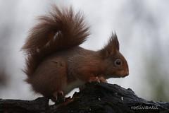 Rode eekhoorn/Squirrel (roelivtil) Tags: eekhoorn knaagdier rijssen rodeeekhoorn sciurusvulgaris