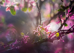 The Coming Spring (Charles Opper) Tags: canon georgia spring bokeh color floral flowers light mood nature shadows doubleexposure