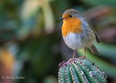 Eden Robin (JKmedia) Tags: eden project cornwall 2018 boultonphotography nature robin bird avian cactus