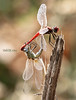 insect  حشرات (Rashed Marie) Tags: insect حشرات macro dreams dragonfly