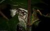 Opisthoncus quadritarius (dustaway) Tags: arthropoda arachnida araneae araneomorphae salticidae opisthoncusquadratarius massivejumpingspider spiderinretreat jumpingspider australianspiders rprr rotarypark rainforest nature lismore northernrivers nsw australia