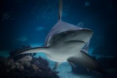 Shark (Strocchi) Tags: oceanáriodelisboa lisbonoceanarium oceanariodilisbona lisbon lisboa lisbona shark squalo fishes pesci water canon eos6d 24105mm