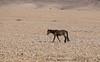 Namib Desert Horse (Sas & Rikske) Tags: namib desert horse afrika africa namibia namibië namibian ericbruyninckx riksketervuren equuscaballus equus caballus paard cheval deblauwevogelnamibië de blauwe vogel 2017