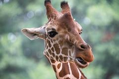 Hello! (Bob.Z) Tags: zoo atlanta giraffe animal usa zooatlanta