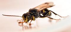 11.2 mm female crabronid wasp (ophis) Tags: hymenoptera aculeata apoidea crabronidae bembicinae bembicini gorytina lestiphorus lestiphoruscockerelli