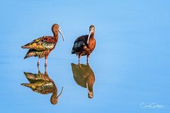 White-faced Ibis (craig goettsch - out shooting) Tags: hendersonbirdviewingpreserve2017 avian whitefaced ibis water blue reflection nature wildlife nikon d500 600mm