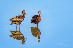 White-faced Ibis (craig goettsch) Tags: hendersonbirdviewingpreserve2017 avian whitefaced ibis water blue reflection nature wildlife nikon d500 600mm