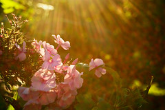 Sunlight (natural illusions) Tags: lensflare light rays september autumn goldenhour pentax k200d rawtherapee imagemagick dof flora lb1415 allrightsreserved plant closeup bokeh flare flowers delightful nature sunrays interesting sunlight pink jesen plamenka wow phlox