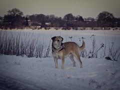 2012-02-04 um 16-34-13 - Hund im Schnee (torstenbehrens) Tags: hund im schnee schneelandschaft