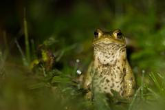 _MG_0545 (matmorau) Tags: amphibians amphibien batraciens bufobufo bufonidae commontoad crapaudcommun