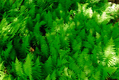 Ferns (~gio~) Tags: maine acadia national park acadianationalpark landscape fern foliage summer flower flora lush