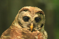 Eye to Eye (shelshots) Tags: barredowl bird owl avian eyes stare