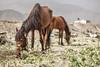 Tierra de Esperanza - 006 (carlosmunante) Tags: caballos comida hambre pobreza cosecha cultivo trabajo desierto marchito