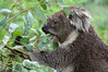 Koala (Phascolarctos cinereus) (Seventh Heaven Photography) Tags: koala animal marsupial herbivore phascolarctos cinereus nikond3200 mammal healesville wildlife sanctuary badgers creek victoria australia feeding eucalyptus leaves food eating