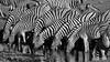 27102007-IMG_4862-Modifier (mg photographe) Tags: pourpre zebras zebres namíbia etosha monochrome boire afrique africa namibie