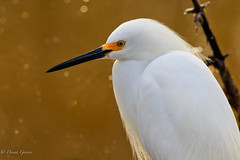 Just Hanging Out (dngovoni) Tags: merrittisland bird egret florida snowyegret water wildlife winter