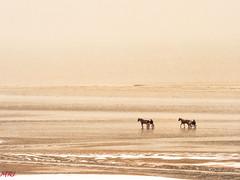 Hiver à la mer 4 (MRI2009) Tags: cheval merdunord hiver plage mer nieuwpoort