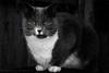 Thunder (Fiverdog) Tags: cat selectivecolour feline