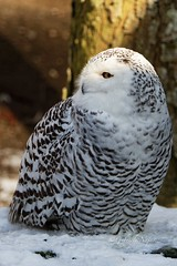 P2130932_  Schnee-Eule, Bubo scandiacus (wuffwuff02) Tags: schneeeule buboscandiacus eule vogel tier