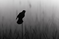 Blackbird Song (imageClear) Tags: blackbird redwingedblackbird cry scream song bw blackandwhite nature marsh horiconmarsh springtime wisconsin aperture nikon d500 sigma sigma500mmf4 imageclear flickr photostream
