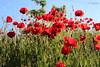 Rojo pasión... (cienfuegos84) Tags: amapola amapolas rojo red