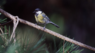 a great tit on a branch