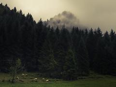 Rain in the Valley (Netsrak) Tags: alpen baum europa landschaft natur nebel trettachtal wald fog mist berg gebirge schaf schafe licht